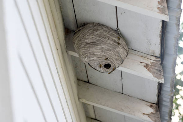 Pest control services - hornet nest removal